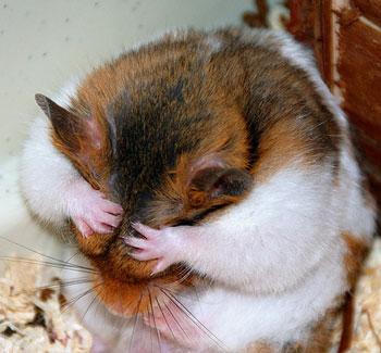 hamstercoversface
